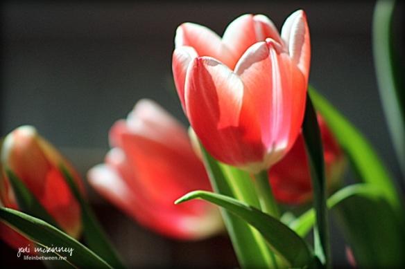 Tulips Pink Spring