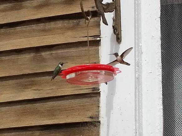 KT St Elmo hummingbirds 8-17