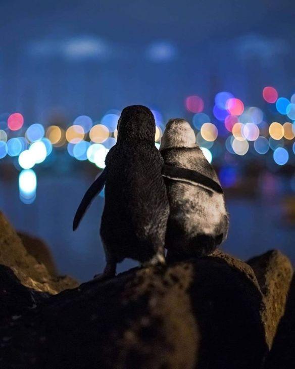 covid fairy penguins melbourne